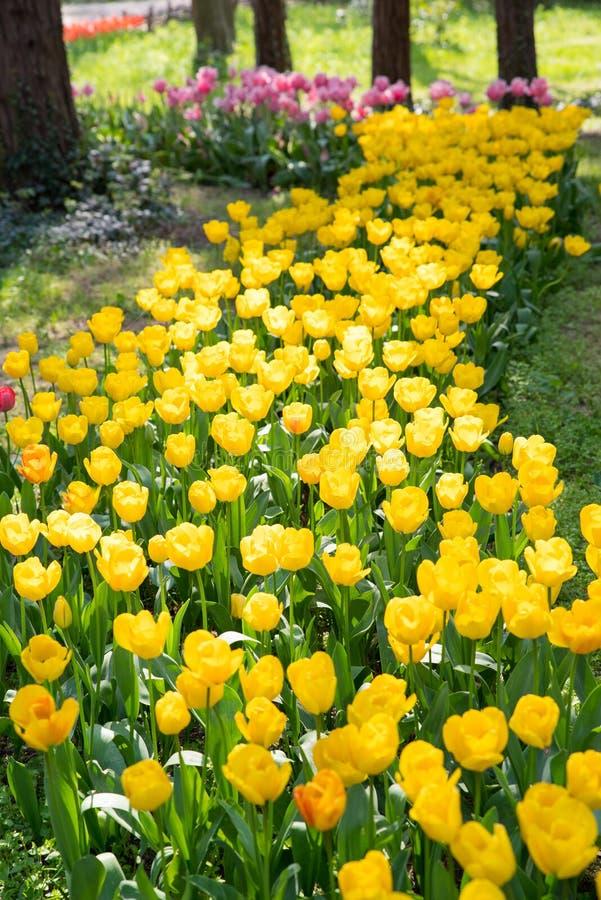 Tulipanes coloridos en parque en primavera fotos de archivo libres de regalías