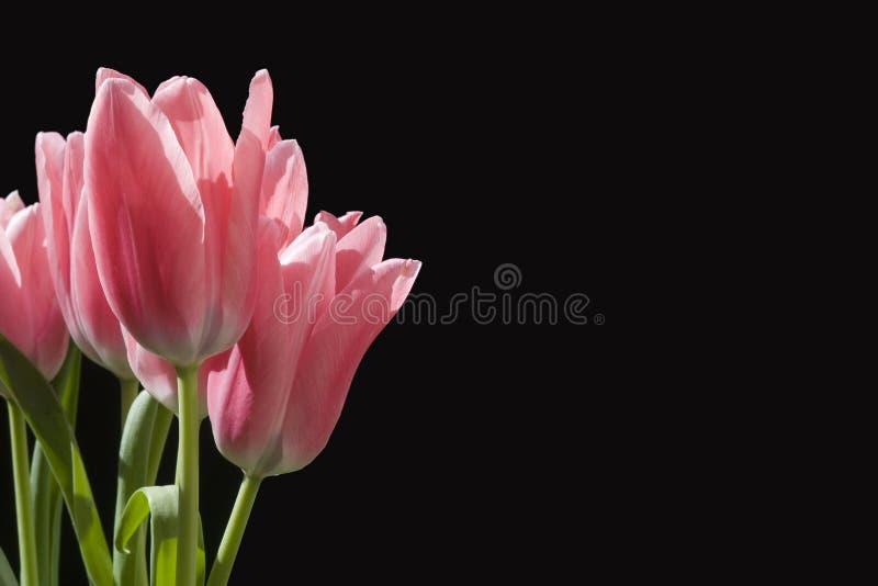 Tulipanes con el espacio de la copia foto de archivo