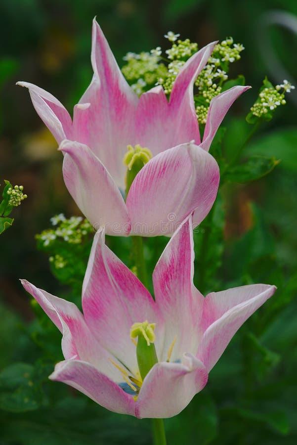 Tulipanes con el lirio rosado fotografía de archivo