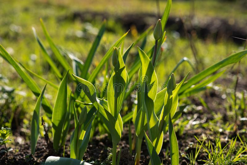 Tulipanes con los brotes cerrados antes de florecer fotografía de archivo libre de regalías