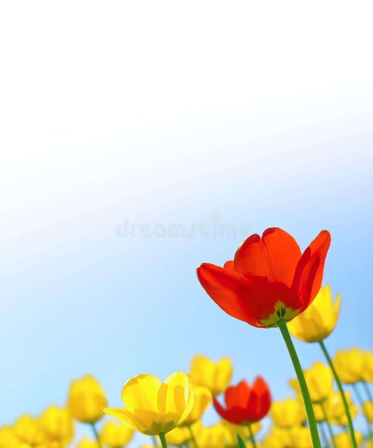 Tulipanes contra el cielo azul imagen de archivo libre de regalías