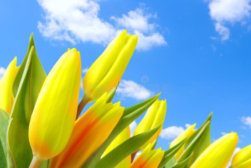 Tulipanes contra el cielo azul foto de archivo