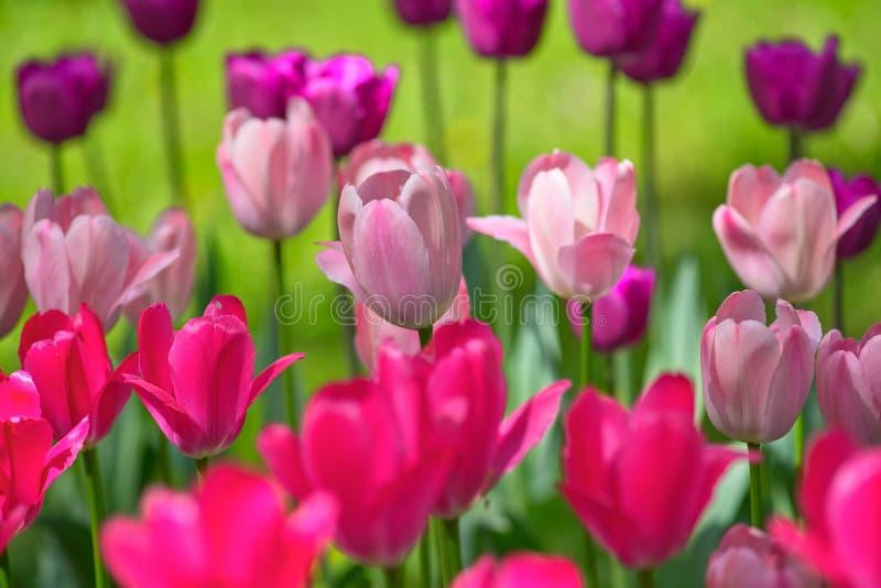 Tulipanes de diversos colores en un día soleado en un fondo verde primavera del concepto fotografía de archivo