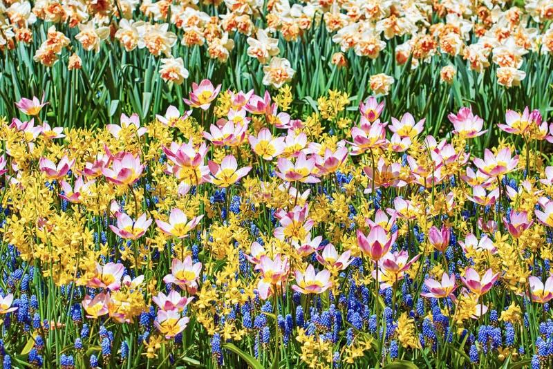 Tulipanes de la maravilla de la lila imágenes de archivo libres de regalías