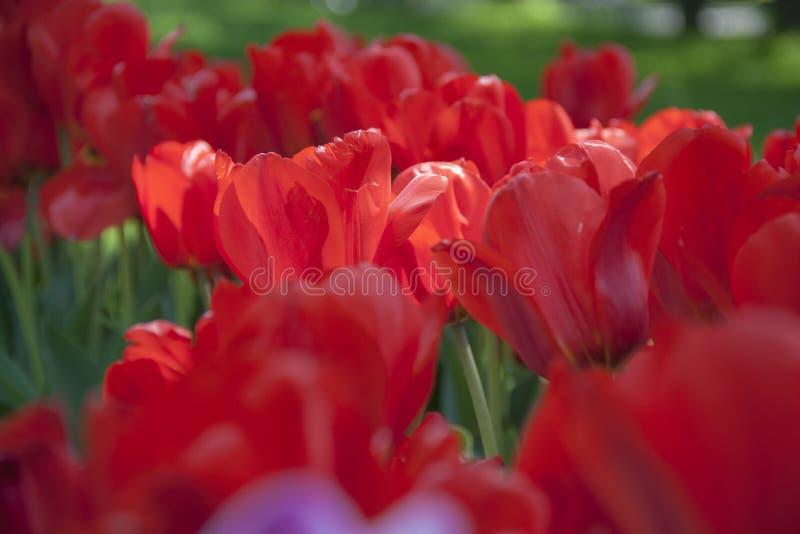 Tulipanes de la primavera de las flores Tulipanes del jardín fotos de archivo