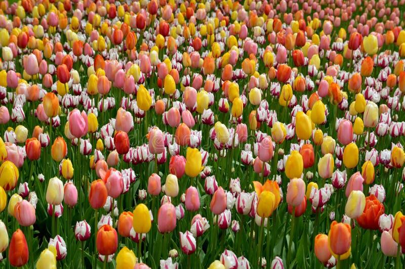 Tulipanes de la primavera en la floración fotografía de archivo libre de regalías