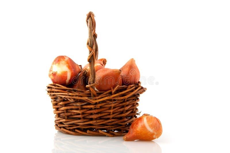 Tulipanes de los bulbos de flor imagen de archivo libre de regalías
