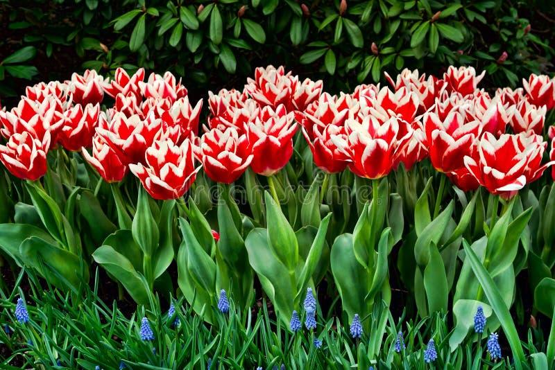 Tulipanes de Triumph fotos de archivo libres de regalías