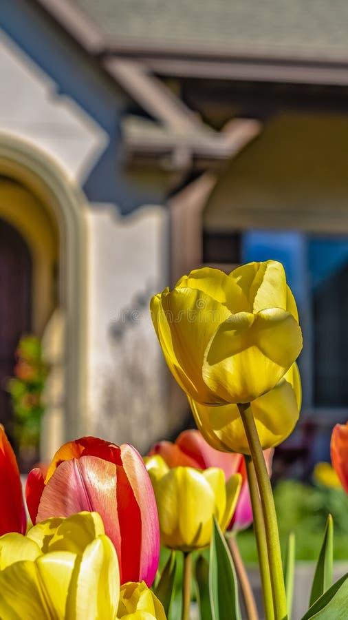 Tulipanes del deslumbramiento del marco del panorama con los pétalos amarillos y rojos vibrantes que florecen bajo luz del sol imágenes de archivo libres de regalías