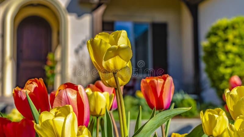 Tulipanes del deslumbramiento del panorama con los pétalos amarillos y rojos vibrantes que florecen bajo luz del sol fotografía de archivo