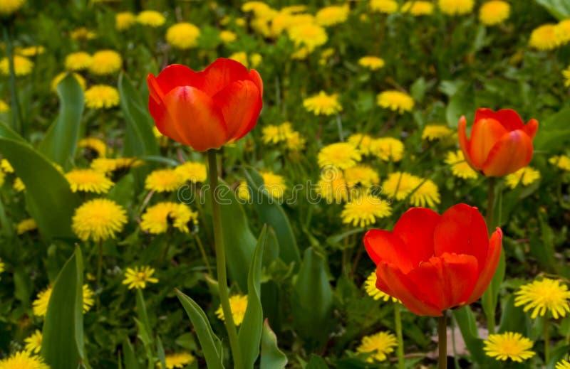 Tulipanes del rojo del árbol fotografía de archivo