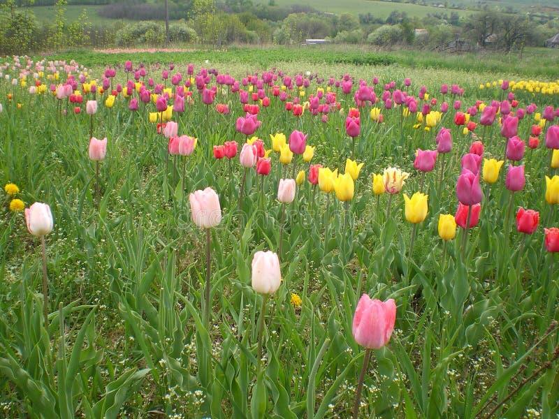 Tulipanes del rosa, amarillos, púrpuras y rojos en un campo de la primavera fotos de archivo
