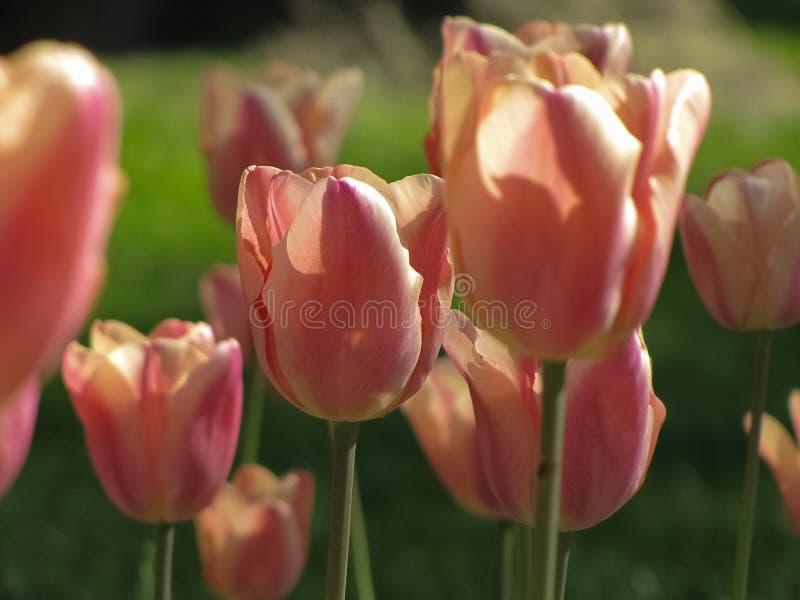 Tulipanes del rosa en colores pastel y del melocotón fotografía de archivo