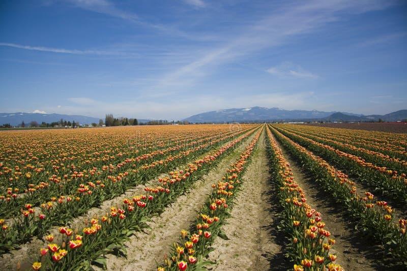 Tulipanes del valle de Skagit fotos de archivo