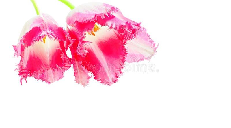 Tulipanes dobles rosados en el fondo blanco fotografía de archivo