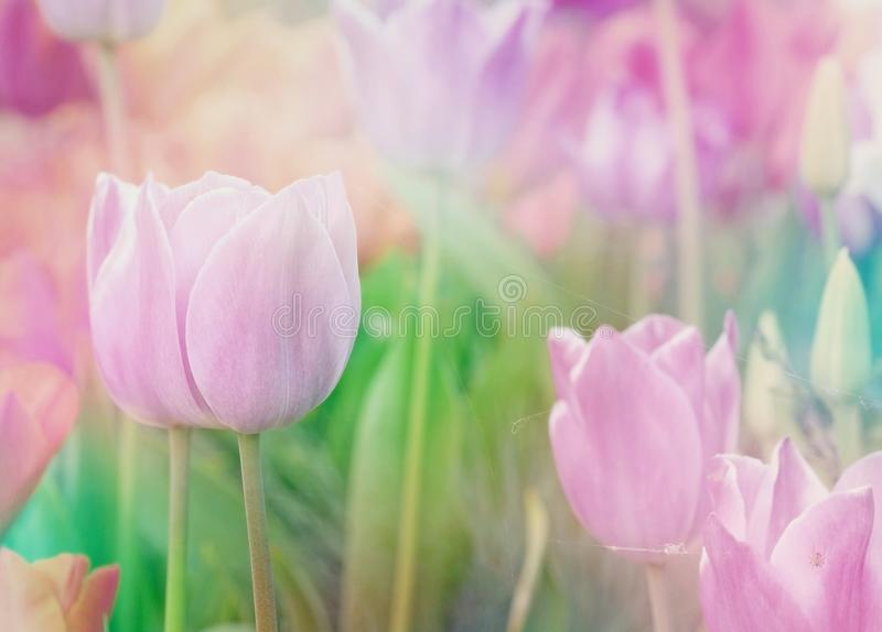 Tulipanes dulces del color en estilo de la suavidad y de la falta de definición imagen de archivo libre de regalías