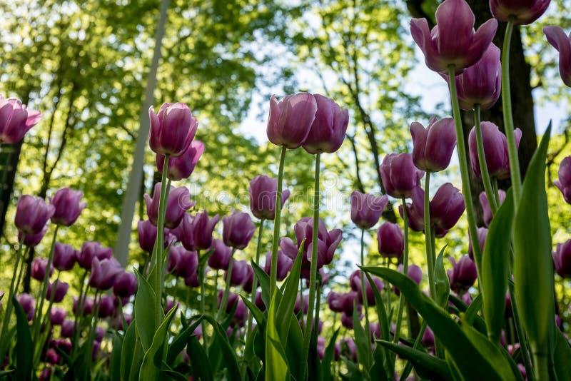 Tulipanes en el Central Park de la cultura y de la reconstrucción en St Petersburg fotografía de archivo