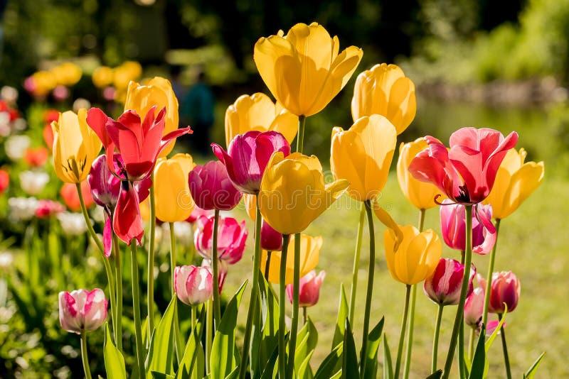 Tulipanes en el Central Park de la cultura y de la reconstrucción en St Petersburg fotos de archivo