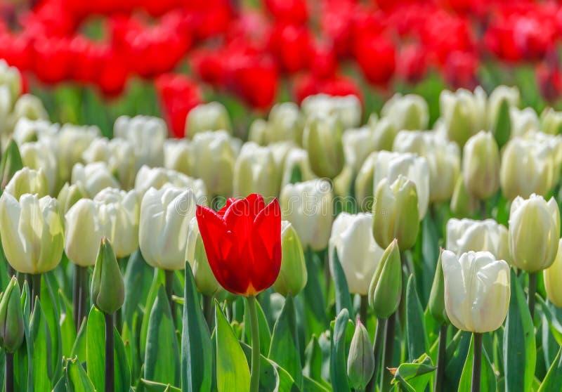 Tulipanes en el cierre del parque para arriba imagen de archivo