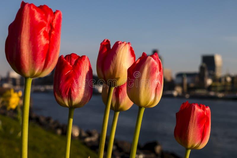 Tulipanes en el dique de Elba en Hamburgo con el fondo borroso imagenes de archivo