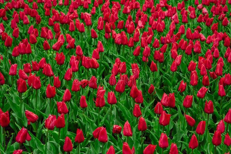 Tulipanes en el jard?n de flores foto de archivo libre de regalías