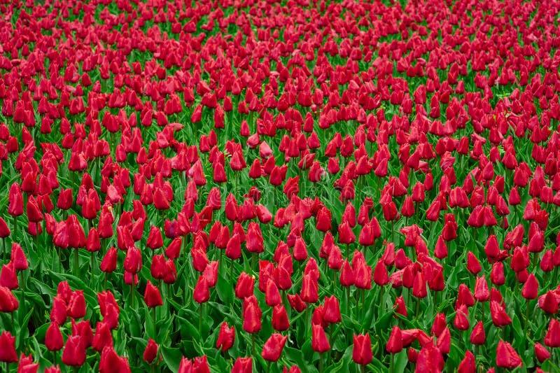 Tulipanes en el jard?n de flores foto de archivo