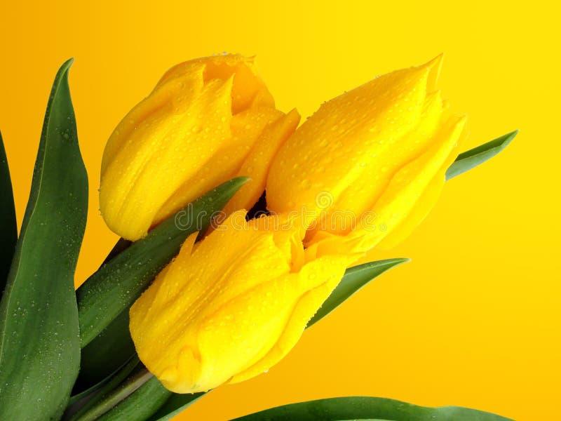 Tulipanes en fondo amarillo fotografía de archivo