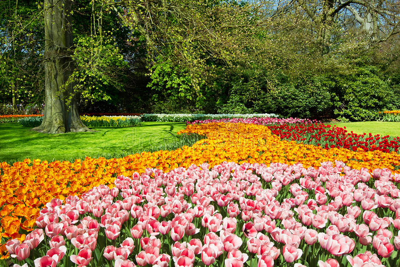 Tulipanes en jardín del resorte imágenes de archivo libres de regalías