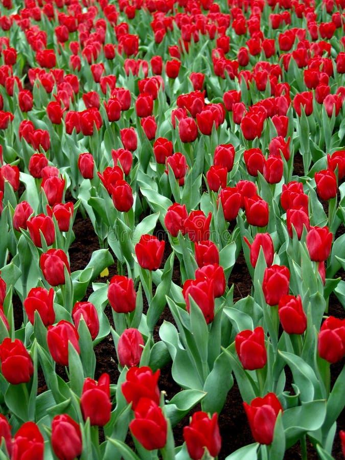 Tulipanes en la plena floración imagenes de archivo