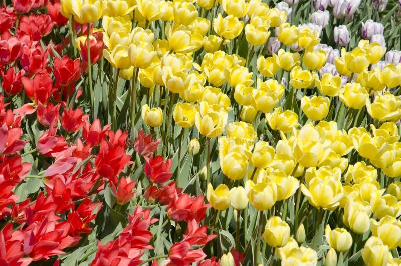 tulipanes en la primavera bajo luz del sol fotografía de archivo libre de regalías