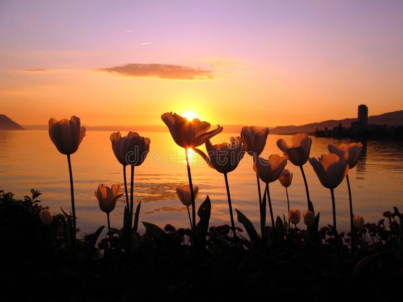 Tulipanes en la puesta del sol imágenes de archivo libres de regalías