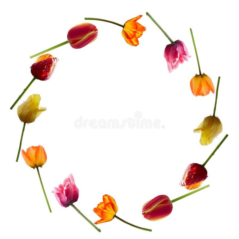 Tulipanes en modelo del círculo imagen de archivo
