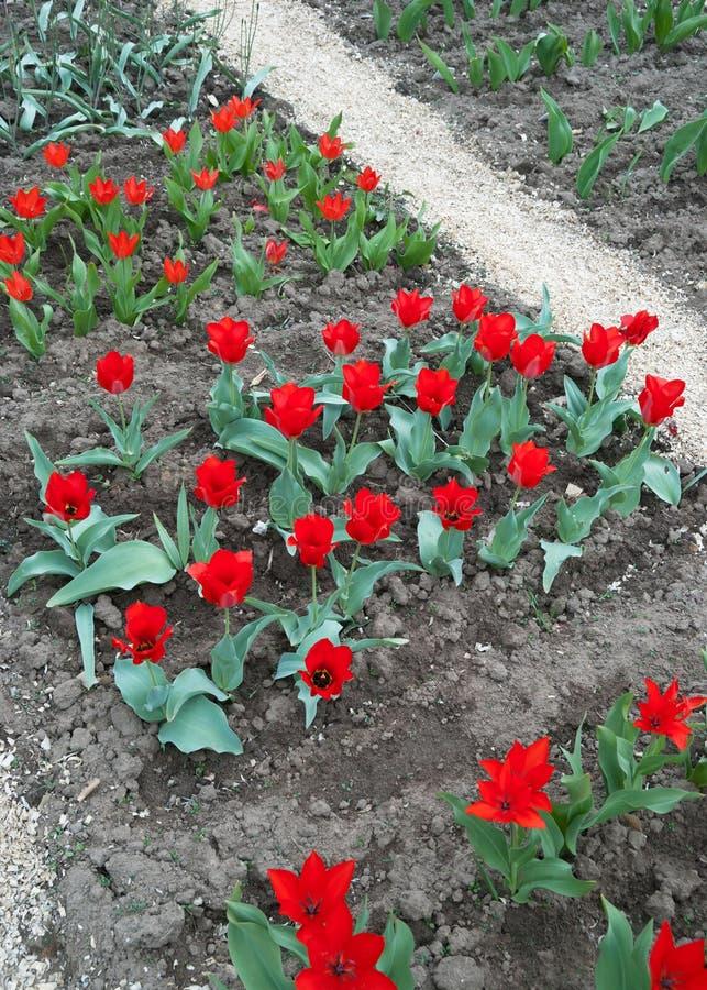 Tulipanes en un jardín botánico fotos de archivo libres de regalías