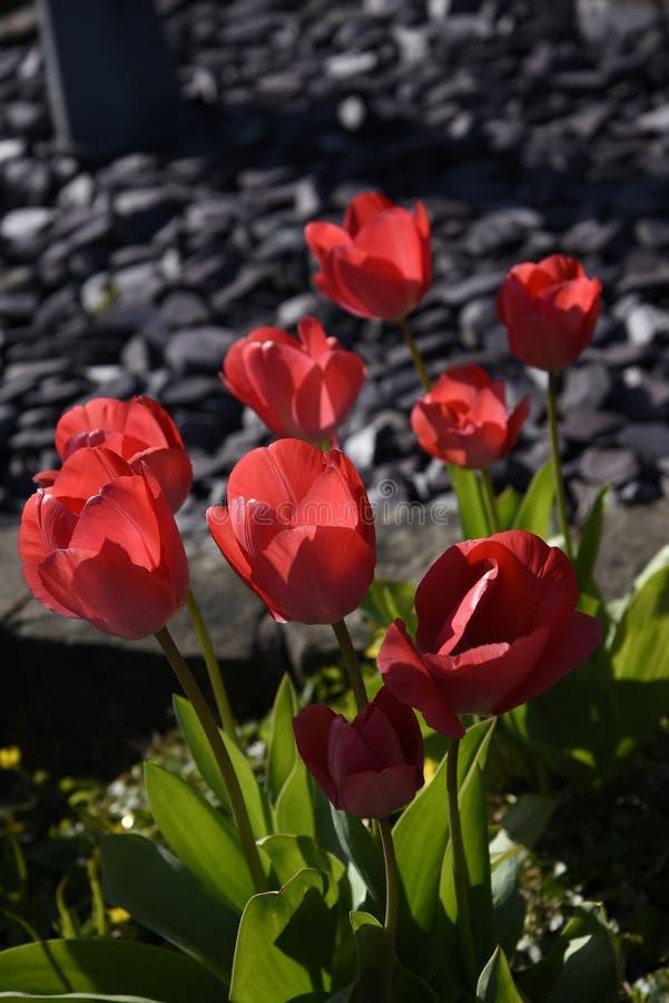 Tulipanes en un jardín de Lancashire imágenes de archivo libres de regalías