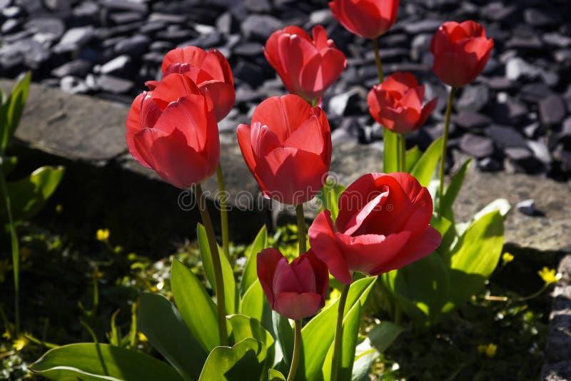 Tulipanes en un jardín de Lancashire fotografía de archivo libre de regalías