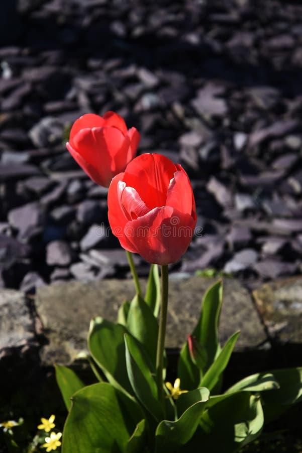 Tulipanes en un jardín de Lancashire imagen de archivo