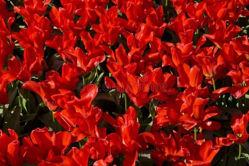 Tulipanes enanos rojos foto de archivo libre de regalías