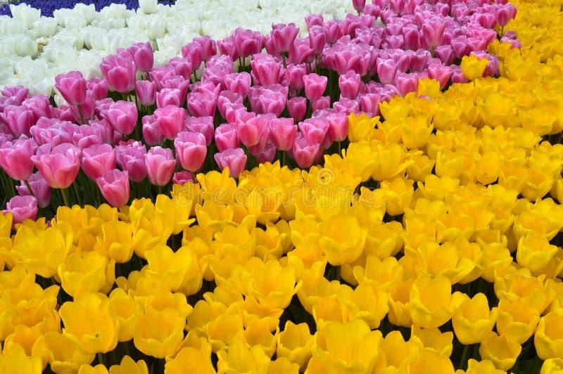 Tulipanes espectaculares amarillos del rosa y blancos en la primavera imagen de archivo