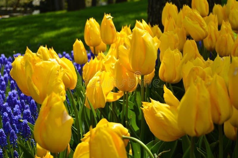 Tulipanes espectaculares amarillos en la primavera Pascua, Europa imagen de archivo libre de regalías