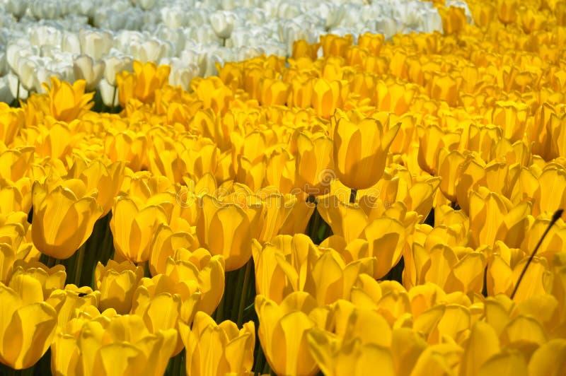 Tulipanes espectaculares amarillos y blancos en la primavera foto de archivo