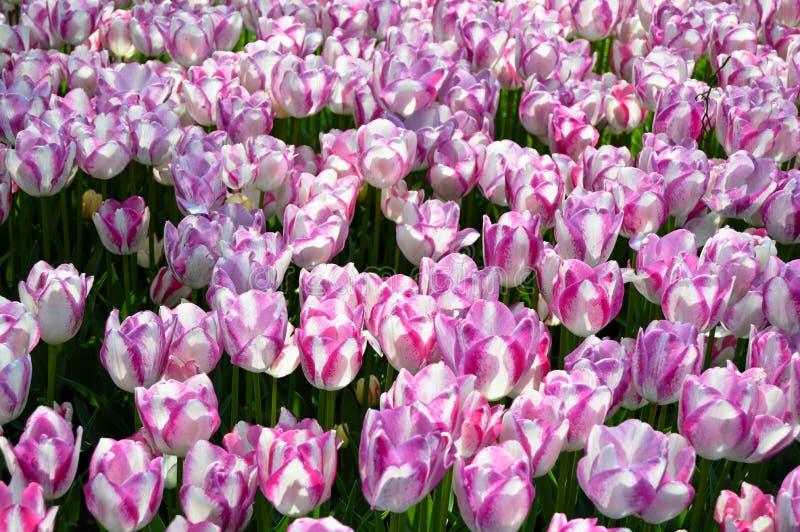 Tulipanes espectaculares del p?rpura y blancos en la primavera foto de archivo