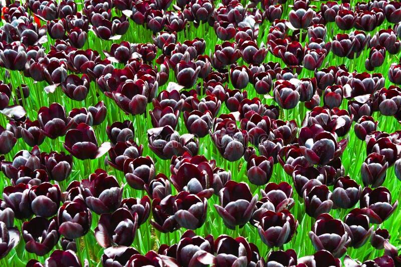 Tulipanes espectaculares p?rpuras en la primavera Brotes, botánicos imagen de archivo