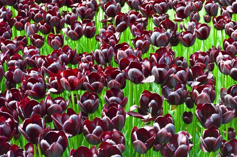 Tulipanes espectaculares p?rpuras en la primavera Brotes, bot?nicos fotos de archivo