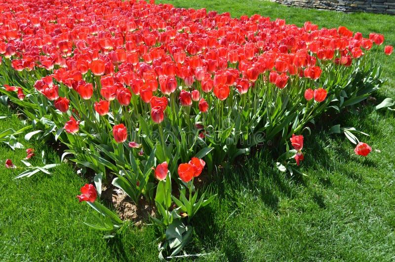 Tulipanes espectaculares rojos en la primavera Campanilla, Europa fotos de archivo libres de regalías