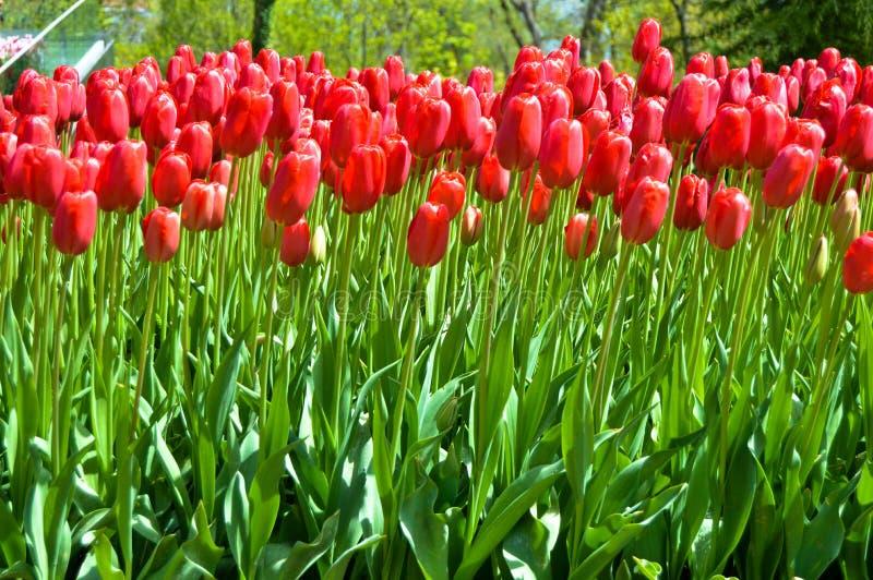 Tulipanes espectaculares rojos en la primavera Campanilla, Europa fotografía de archivo