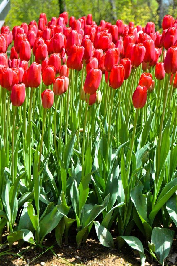 Tulipanes espectaculares rojos en la primavera Campanilla, Europa fotografía de archivo libre de regalías