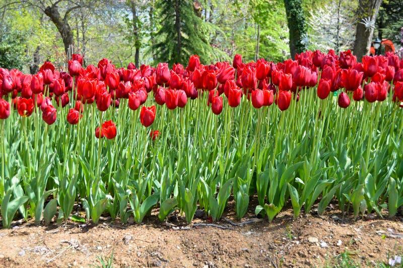 Tulipanes espectaculares rojos en la primavera Campanilla, Europa imágenes de archivo libres de regalías