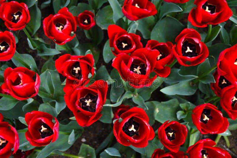 Tulipanes espectaculares rojos en la primavera foto de archivo libre de regalías