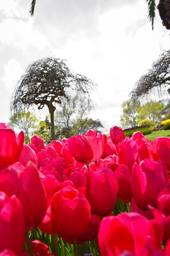 Tulipanes espectaculares rojos en la primavera fotografía de archivo