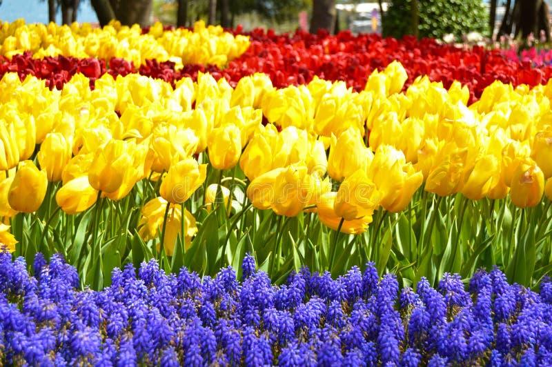 Tulipanes espectaculares rojos y amarillos, jacinto árabe azul en la primavera fotos de archivo libres de regalías